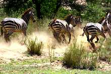 Zebras im Lake-Manyara-Nationalpark